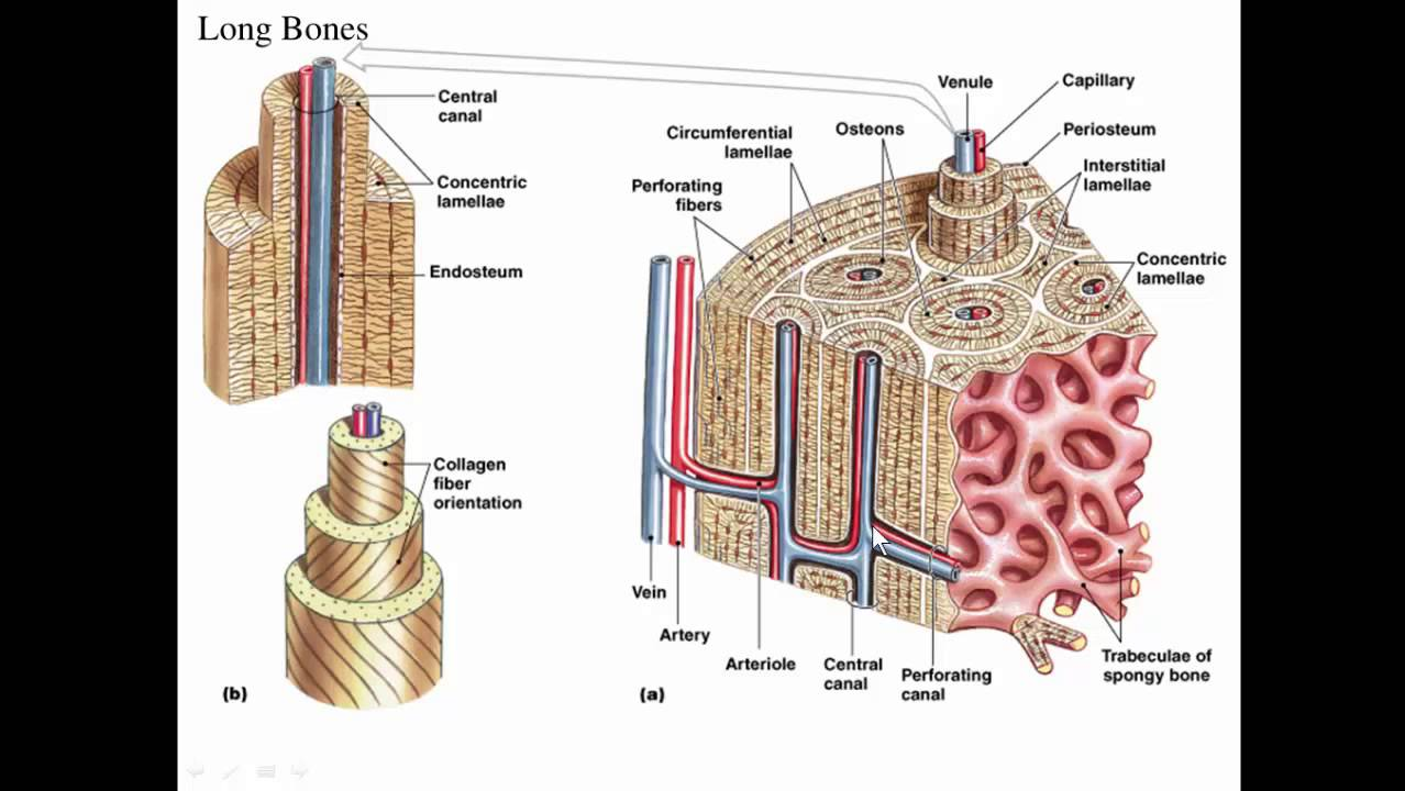 Microscopic structure of bone pdf