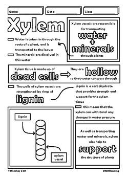 Xylem and phloem worksheet pdf